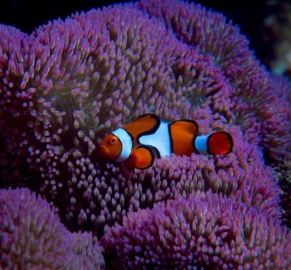 Oranye Clownfish (Amphiprion Percula)