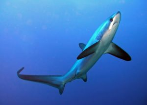 Morfologi dan Klasifikasi Ikan Hiu Rubah Laut/Common Thresher Shark (Alopias Vulpinus)