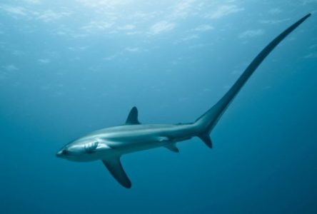 Morfologi Thresher shark