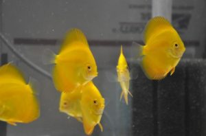Gambar Jenis Ikan hias Discuss Golden Yellow Diamond
