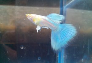 Ikan Guppy Japan Blue