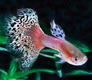 Ikan Guppy Pink White