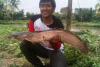 gambar umpan paling jitu galatama ikan lele kolam harian terbaru